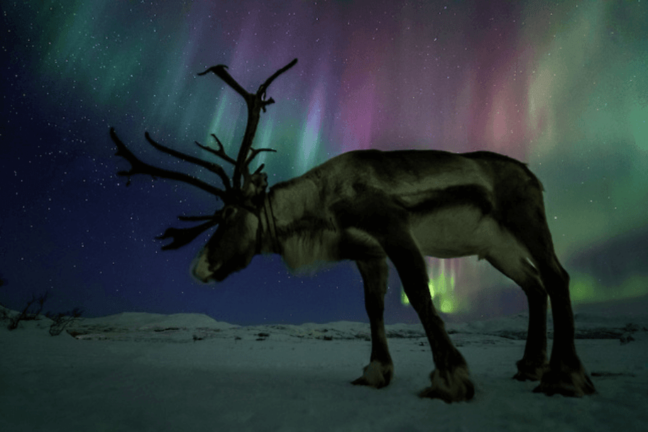 Reindeer in front of the aurora borealis by Ole Salomonsen