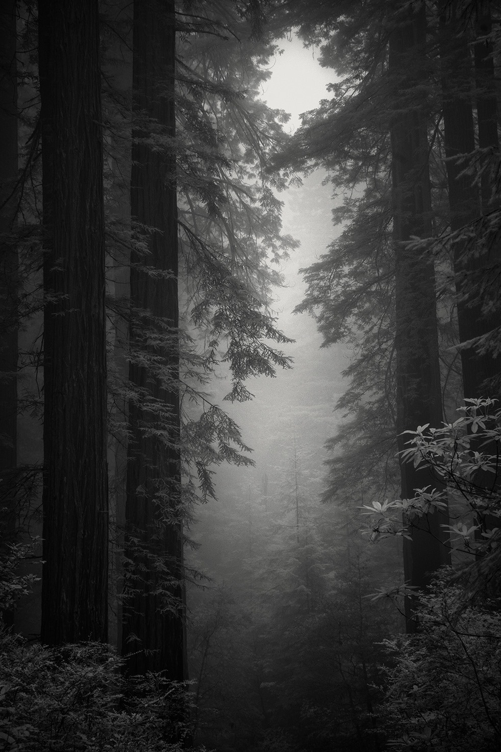 Black and white photo of redwoods