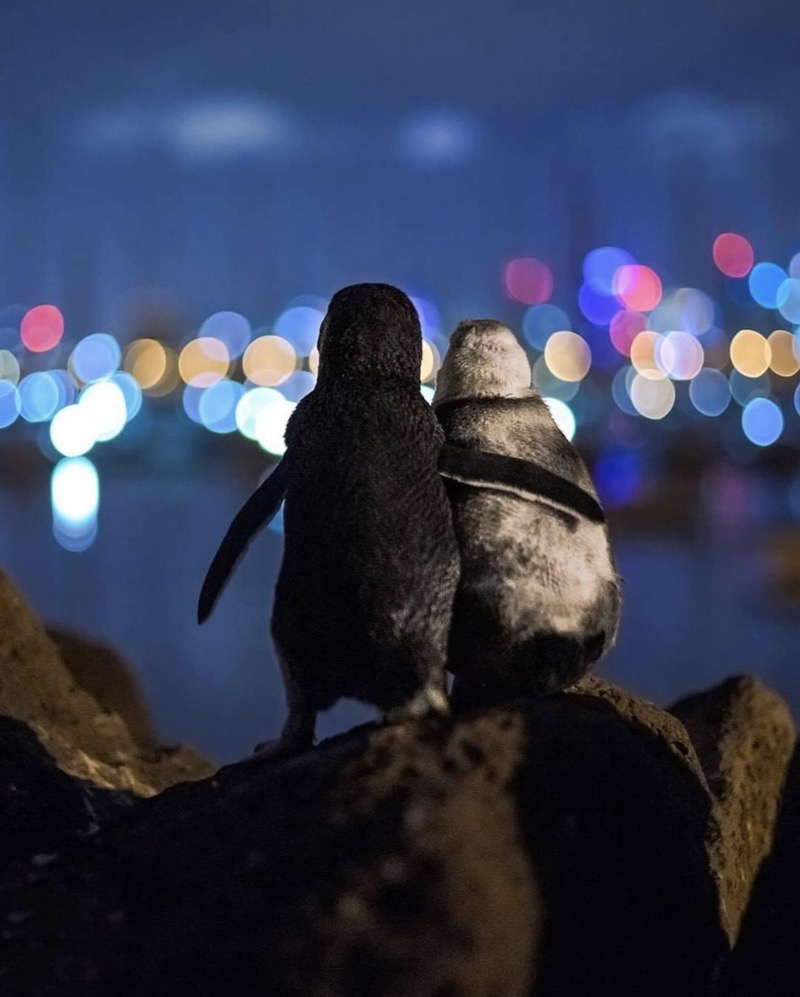 Penguins staring at Melbourne skyline